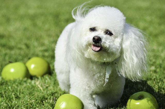 Alma kutyának